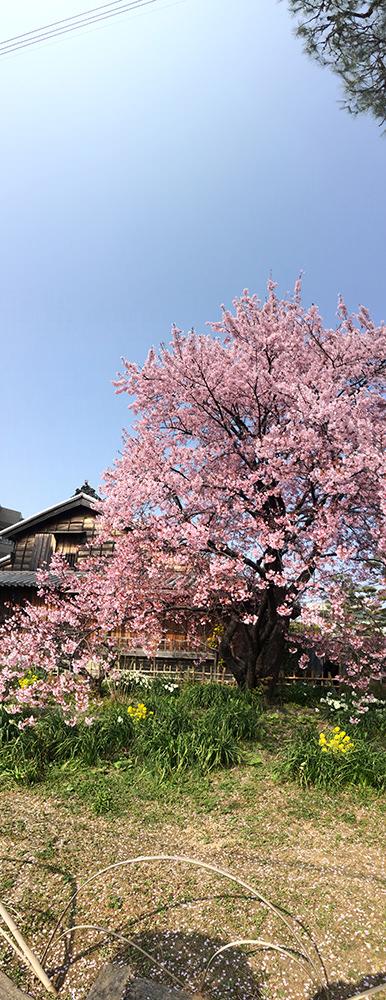 桜パノラマ縦