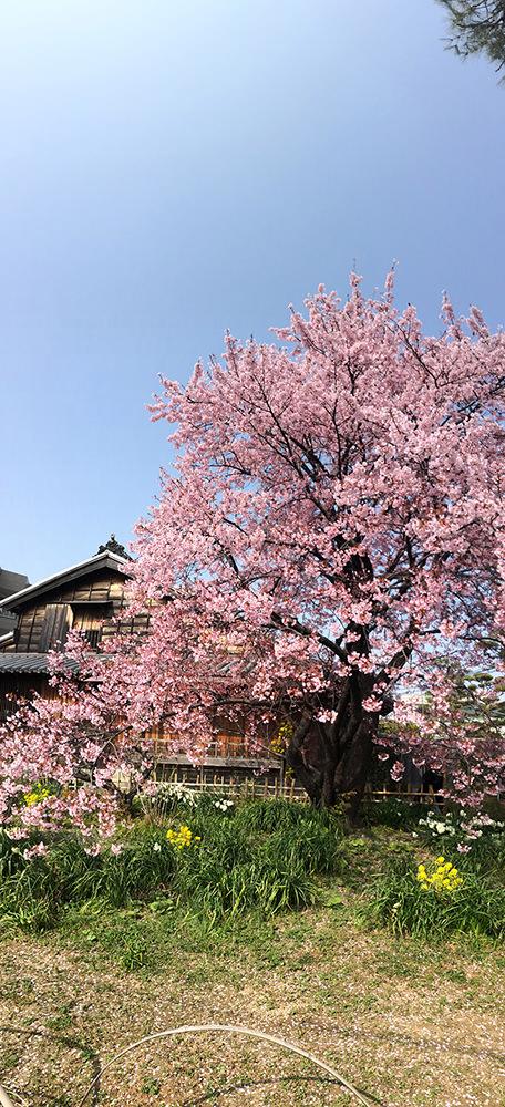 原田さんのとこの桜
